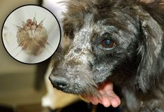 MANGE (MITES): skin disorder due to mites.  can spread among dogs and to people but mites don't survive on humans.  symptoms include itching, redness, sores, hairloss.  Most commonly on ears, face and legs.