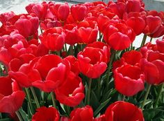 red tulips♥ red tulip
