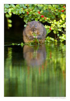 Water vole..