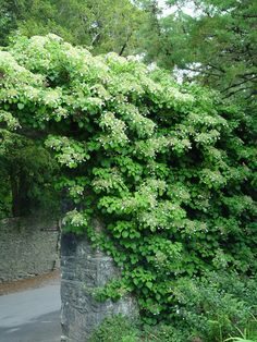 climbing.hydrangea.stone.arch. Climbing hydrangea (Hydrangea anomala) is a lovely climbing vine that produces lacy clumps of white flowers all summer long. It is a strong climber but not so aggressive that it will take over your other plants, shrubs and trees. It climbs by twining and by aerial roots and is best suited for growth up a tall tree or a brick or stone wall. Climbing hydrangeas don't require any training: just plant them next to their climbing structure and they will do the rest.