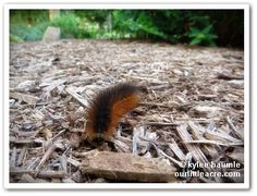 "Do caterpillars predict the coming winter?  Our Little Acre: ""Fuzzy Wuzzy Was a Caterpillar"""