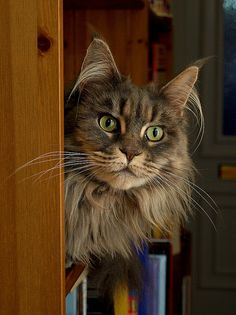 *Maine Coon*