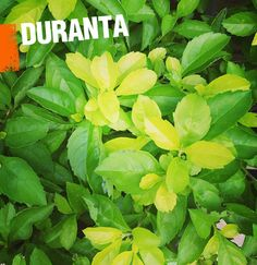 A duranta plant is a tropical shrub that can easily be trained into hedges or trees.