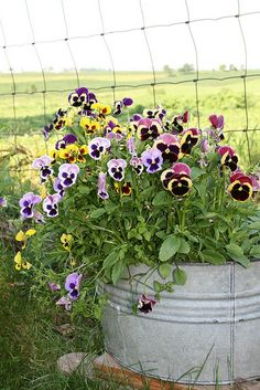 an old washtub filled with pansies