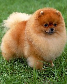 The Perfect Little Dog to have is a Pomeranian!!!