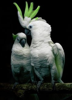 Cockatoos - love the lime green crest!