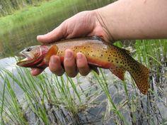 Colorado Greenback #Cutthroat fli fish, mercadito carlitoslaguilon, greenback cutthroat, brag board, fish bucket