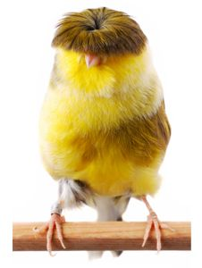 Gloster's Fancy Canary..... reminds of Moe ( Larry and Curly fame)I had one of these at one time they sing so beautiful...I gave all mine back to breeder on his word he would leave them in flight cage with the breeders I couldn't get over feeling guilty about the cages...they were born to inherit the sky..ya know?