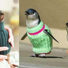 Calling all knitters, these penguins need your help! Skeinz, a yarn store in New Zealand, has come up with the cutest call to action, asking knitters worldwide to make sweaters for penguins affected by the 2011 New Zealand Oil Spill, which is regarded the worst environmental disaster in the country's history.