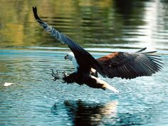 Eagle Swoops in for Fish