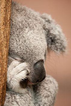 Sleepy koala.