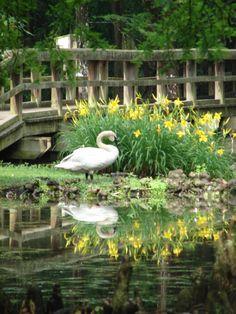 Swan Lake Iris Gardens, in Sumter, SC