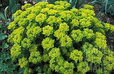 Euphorbia Polychroma 'Midas'    A compact mound of mid green foliage bears bright yellow flowers and bracts from spring. In autumn the foliage is tinged red.    Cut the flowered stems down to ground level after they have flowered, in late summer or early autumn.    The simplest way to propagate this plant is by division. This should be done in late summer to early autumn once it has finished flowering.    Generally pest and disease-free. Yay!