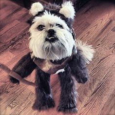 Hello, this is an Ewok dog, it is the cutest