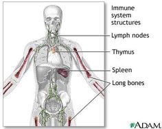 The Human Immune System ~ Part I & Part II