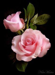 pink roses, stun rose, rosa rose, flower, beauti rose