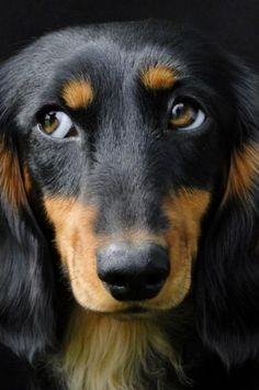 Pretty-those Doxie eyes.