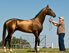 Akhal-Teke stallion Tarzan by Kerri-Jo, via Flickr