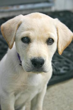 Lily the Yellow Lab pup