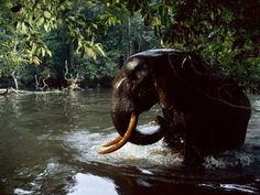 Forest Elephant, Gabon  Photograph by Michael Nichols, National Geographic    A camera trap captures a forest elephant wading through water.