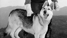 Image detail for -... from the 1950s television series, 'The Adventures of Rin Tin Tin