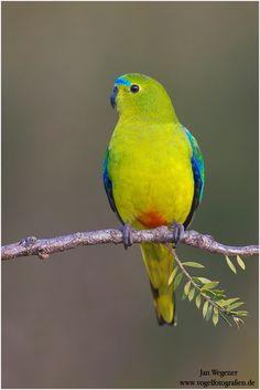 Neophema chrysogaster - łąkówka krasnobrzucha - Orange-bellied Parrot CR