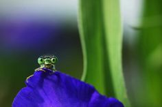 You startled me! - Damselfly Photos By Remus Tiplea Show The Beautiful Bugs' Aloof Nature