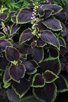 Coleus 'Exhibition Magma'. Deep purple leaves lined in light green.