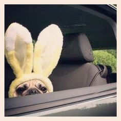 Easter bunny pug is watching you
