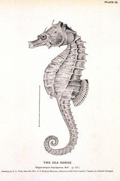 Seahorse Printable / http://vintageprintable.com/wordpress/wp-content/uploads/2010/08/Animal-Curiosity-Seahorse-666x1000.jpg