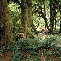Hoh Rain Forest, Olympic National Park  ~ See a rich spectrum of greens: the deep emerald of licorice fern, the wan olive of hanging club moss, and the turqoise of Sitka spruce needles.
