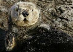 Sea #otter at @Monterey Starkey Bay Aquarium #monterey bay #aquarium