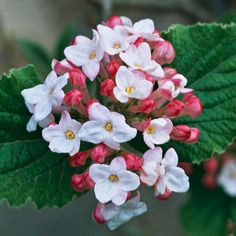 The Most Beautiful Spring-Flowering Shrubs - Viburnum is an all-around winner. Most varieties bloom in shades of pink and white, and many offer a wonderful fragrance or great fall foliage color.
