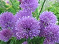 chive flower, shady garden, grow chive, gardens, herbs garden, chives, shade, onion, edible flowers