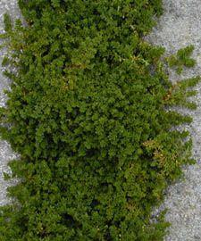 Herniaria glabra  full sun - shade, tolerates foot traffic