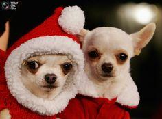 Chihuahua Christmas!