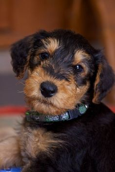 Myrtle wanted a dog in chapter two, she wanted a police dog, but the man selling the puppies gives her a different type of puppy. The man gives her a puppy and says it is more of an Airedale, so this is an Airedale.