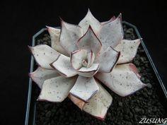 Echeveria strictiflora v. nova by Zusung, via Flickr