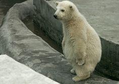 polar bear so cute!