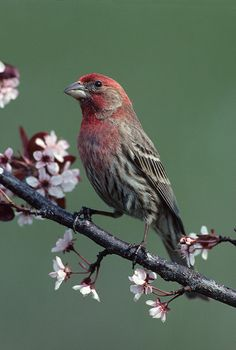 Male House Finch wakes me up every morning singing his heart out :)