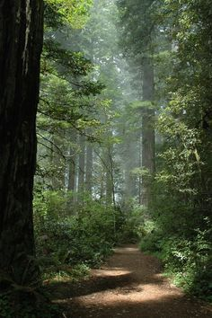 Redwood Forest CA