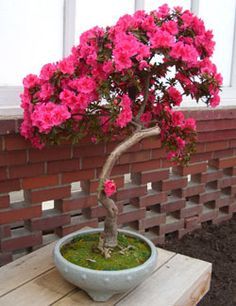 vibrant flowering bonsai