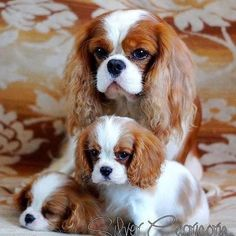 Cavalier and pups -