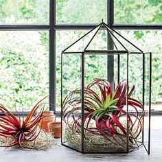 Create a miniature winter garden with ethereal air plants—no soil required!