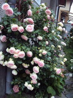 kletter rosen climbing roses on pinterest climbing. Black Bedroom Furniture Sets. Home Design Ideas