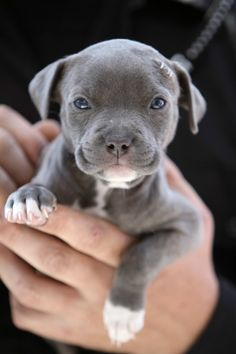 Cute little gray pitbull puppy.
