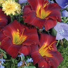 """A dwarf grower with large 5"""" flowers for containers or in the ground. The blooms have dark red petals, yellow mid-ribs and apple green throats and appear in mid-summer. 24"""" tall.    One of our most popular perennial flowers, Daylilies originated in China. Through extensive hybridizing their color range is huge and they vary in size from dwarf to large. Many are fragrant and re-blooming. They thrive in full and part sun and grow in most any soil including clay in moist and dry conditions. The dwa"""