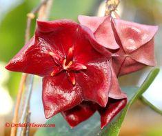 Hoya megalaster tropical flowers
