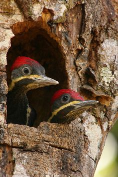 Is the coast clear?? Baby Woodpeckers, so darn cute!