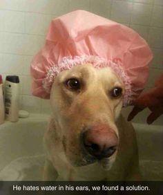 Hahahaha!! anim, 87 pic, ear, ador, puppi, parenting win, hate water, lab, dog mom